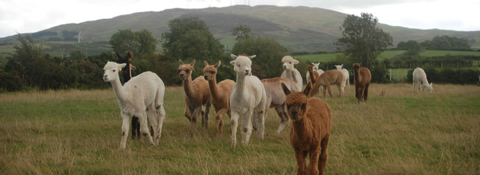 alpacas shadow of Slieve Croob